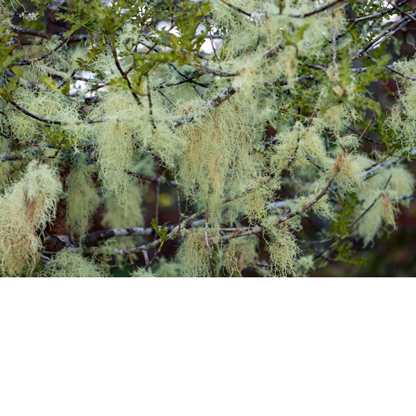 Old Man's Beard Lichen